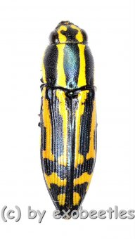 Polyctesis ohkurai  ( 10 – 14 )