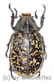 Polyphylla tonkinensis  ( 35 – 39 )