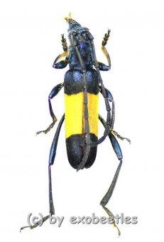 Polyzonus latefasciatus  ( 20 - 24 )  A2