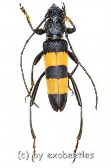Polyzonus obtusus  ( 20 – 29 )  A2