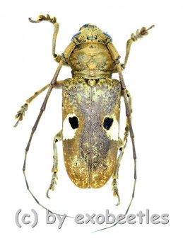 Prosopocera bipunctata  ( 25 - 29 )  A2