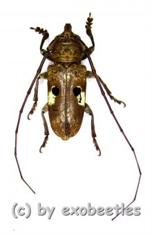Prosopocera bipunctata  ( 20 - 29 )  A2