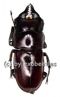 Prosopocoilus antilopus antilopus  ( 20 - 24 )