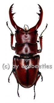 Prosopocoilus astacoides castaneus  ( 50 - 54 )