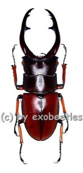 Prosopocoilus astacoides pallidipennis  ( 55 – 59 )