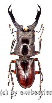 Prosopocoilus capricornus  ( 40 - 44 )