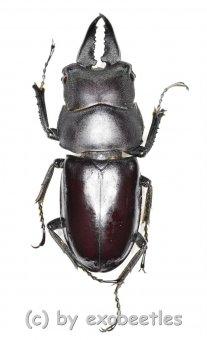 Prosopocoilus ( Prosopocoilus ) crenulidens  ( 35 - 39 )