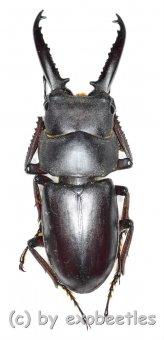 Prosopocoilus ( Prosopocoilus ) denticulatus  ( 40 - 44 )