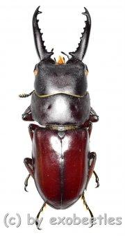 Prosopocoilus ( Prosopocoilus ) denticulatus  ( 30 - 34 )