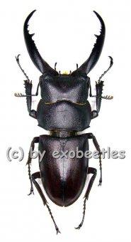 Prosopocoilus ( Epidorcus ) gracilis  ( 40 – 44 )