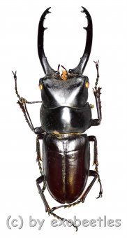 Prosopocoilus ( Prosopocoilus ) guerlachi ( telodonte )  ( 40 - 44 )