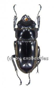 Prosopocoilus lumawigi  ( 35 - 39 )
