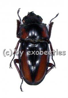 Prosopocoilus mirabilis  ( 25 – 39 )