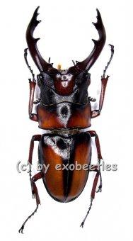 Prosopocoilus mirabilis  ( 60 - 64 )