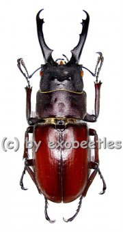 Prosopocoilus myrmecoleon  ( 45 - 49 )