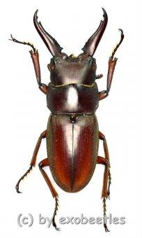 Prosopocoilus mysticus mysticus ( mesodonte )  ( 25 - 29 )