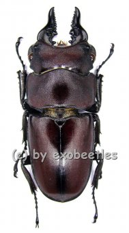 Prosopocoilus natalensis  ( 30 - 44 )  A2