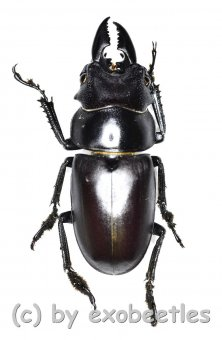 Prosopocoilus oweni ssp.ovatus ( Freak )  ( 29 )