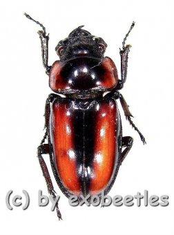Prosopocoilus savagei  A2
