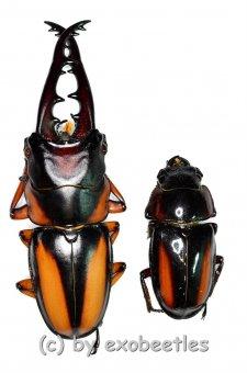 Prosopocoilus savagei savagei  ( M 55 – 59 )