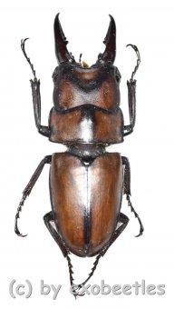 Prosopocoilus suturalis  ( 30 - 34 )