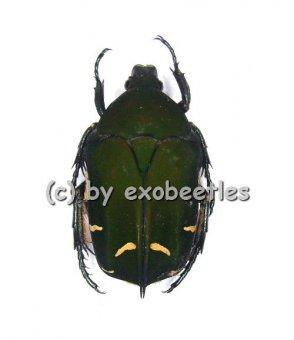 Protaetia ( Euprotaetia ) boholica  ( 20 - 29 )