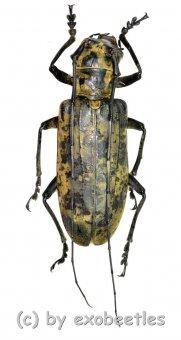 Pseudomeges marmoratus  ( 70 - 74 )  A2