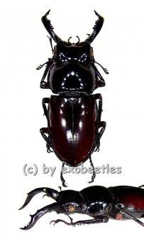 Pseudorhaetus oberthuri  ( 30 - 34 )  A2