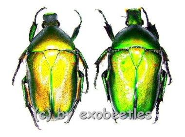 Pseudotorynorrhina japonica ( grüne var. )  ( 25 - 29 )