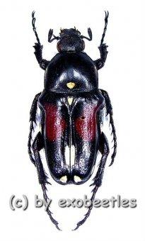 Pygora albomaculata  ( 15 - 19 )