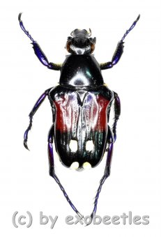 Pygora conjuncta  ( 10 – 14 )