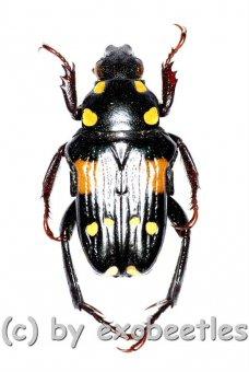 Pygora ( Bourgoinigora ) quatnordecimguttata  ( 10 - 14 )