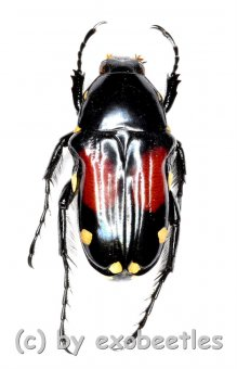 Pygora rufoplagiata  ( 10 - 19 )  A1-