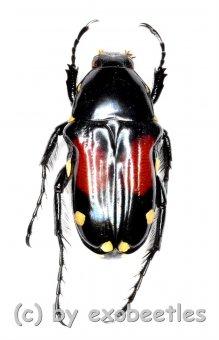Pygora rufoplagiata  ( 10 - 19 )