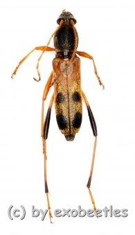Rhaphuma tricolor  ( 10 – 14 )  A2
