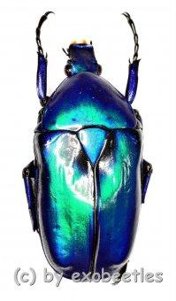 Rhomborrhina resplendens chatanayi ( blaue var. )  ( 30 – 44 )