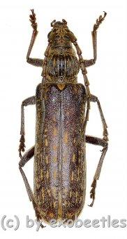 Rhytidodera bowringii  ( 35 - 39 )