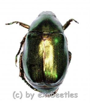 Rutelidae spec. #24  ( 15 - 19 )