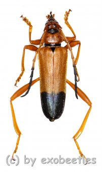 Schmidtiana apicalis  ( 35 - 39 )