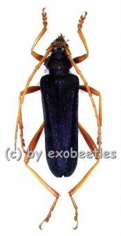 Schmidtiana legrandis  ( 40 - 44 )  A1-