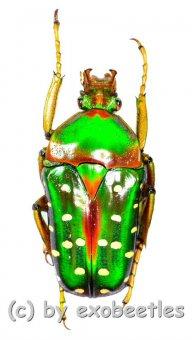 Stephanorrhina guttata ashantica  ( 25 - 29 )