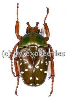 Stephanorrhina princeps ssp.princeps  ( 25 - 34 )