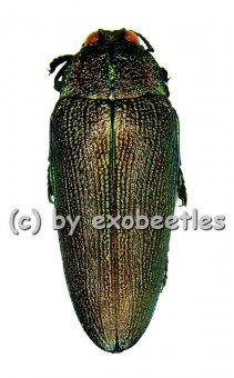 Steraspis laeviventris ( grüne var. )  ( 35 - 39 )