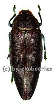 Steraspis viridicincta  ( 40 - 44 )  A2