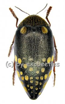 Sternocera castanea boucardii  ( 40 - 44 )