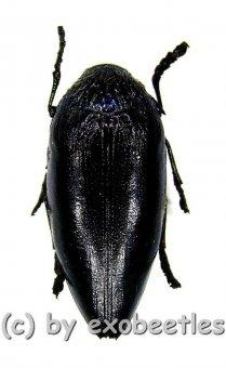 Sternocera orissa variabilis ( schwarze var. )  ( 30 - 39 )  A2