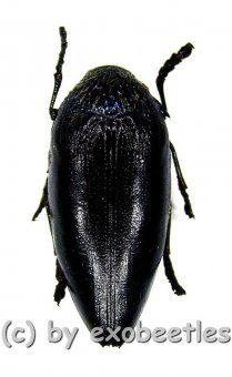 Sternocera orissa variabilis ( schwarze var. )  ( 25 - 29 )  A2