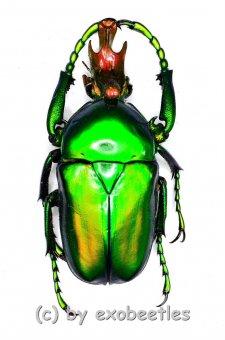 Taurrhina longiceps togolensis  ( 25 – 29 )