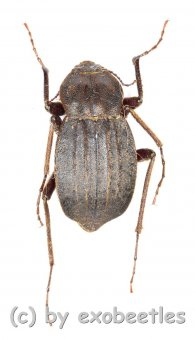 Tenebrionidae spec. #18  ( 15 - 19 )  A1-