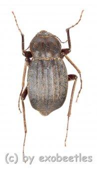 Tenebrionidae spec. #18  ( 15 – 19 )  A2